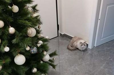 貓咪每年破壞聖誕樹 飼主靈機設立結界