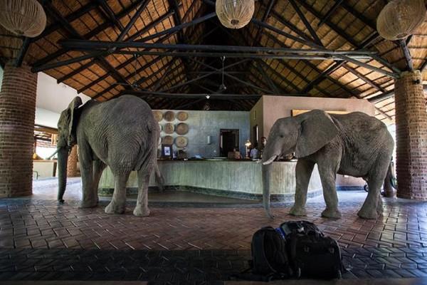 尚比亞大象帶全家闖餐廳爽吃「霸王餐」 客嚇傻全身僵硬秒靜止