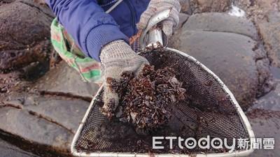 東北角黑金採收季 紫菜營養美味