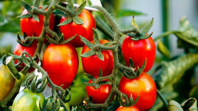 植物被吃也會痛!根枝遭剪「番茄哭泣25聲」 哀號只有昆蟲能聽見