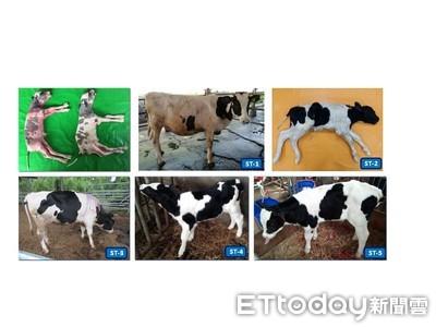 紡綞體轉置荷蘭牛誕生 世界首例