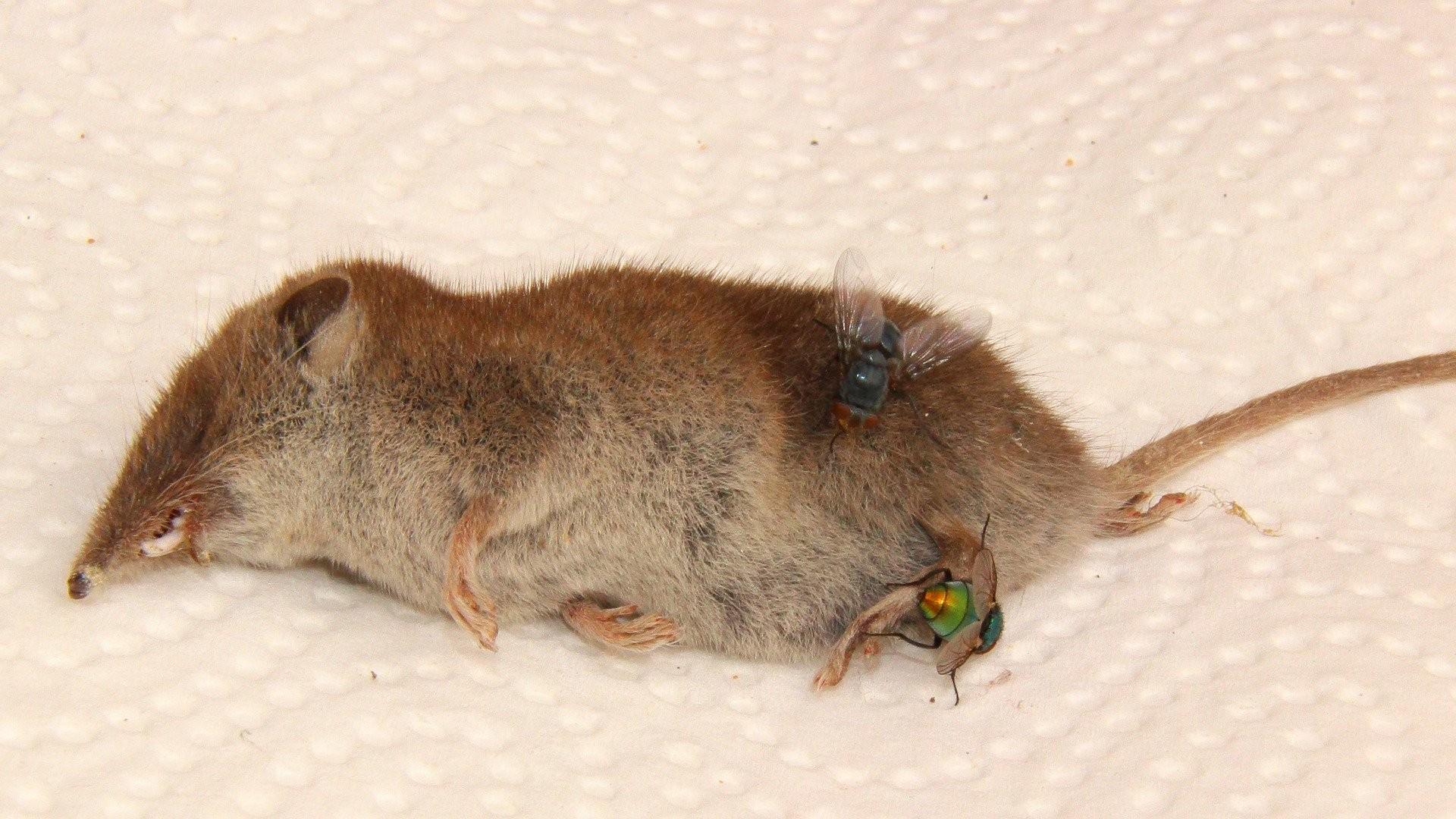 ▲蒼蠅,老鼠,屍體,腐爛,。(圖/取自免費圖庫Pixabay)