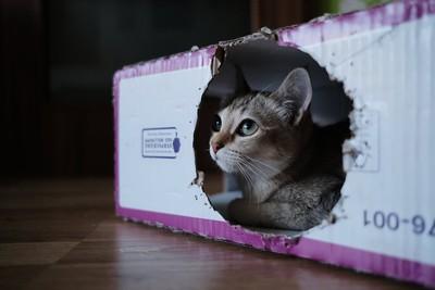 家裡貓主子老是喜歡躲箱子 這是天生的「保護機制」:代表牠們有壓力