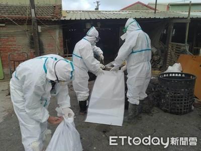 彰化18處感染禽流感 撲殺30萬隻