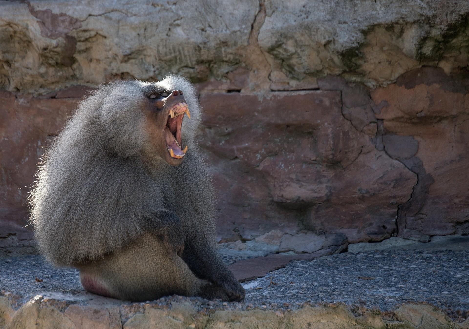 ▲狒狒,打呵欠,哈欠。(圖/取自免費圖庫Pixabay)