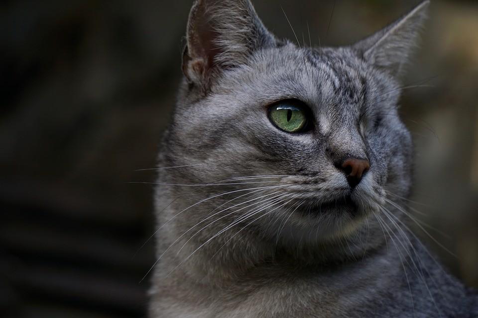 ▲▼貓。(示意圖/取自免費圖庫Pixabay)