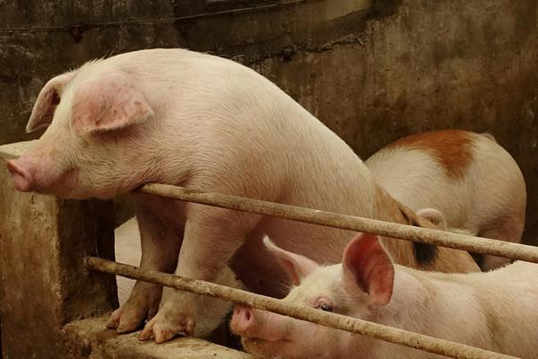 ▲▼豬,豬瘟,非洲豬瘟,豬肉。(圖/路透社)
