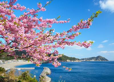 日本九州河津櫻花海拉開春天序幕