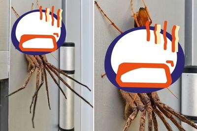 橘色蛛蜂拖走大蜘蛛 殘忍目的曝光