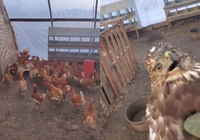 抓雞反被暴打 老鷹一臉被玩壞了