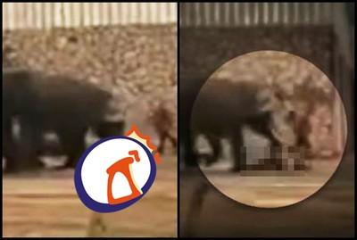 大象發情!遊客面前直接「踩爆馴獸員」