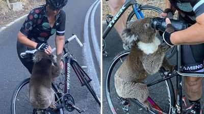 心疼!無尾熊被40度高溫曬昏 呆坐公路哭嚎 渴到爬自行車搶水壺