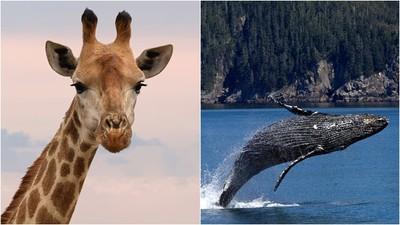 鯨魚親戚竟然是「長頸鹿」 腳變鰭下海爽吃魚 鯨偶蹄目生物遍佈海陸