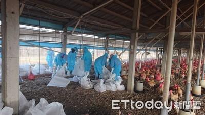 雲林2020禽流感第一例 撲殺2.3萬隻紅羽土雞
