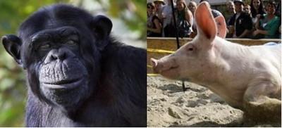 母黑猩猩和公豬「雜交」出人類