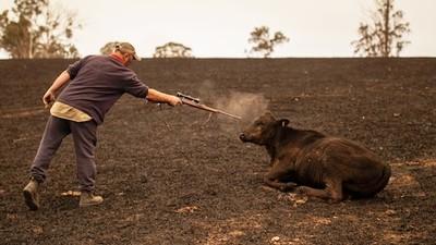 與母牛淚眼相望!野火太猛來不及救家禽 農場主人自責開槍安樂死
