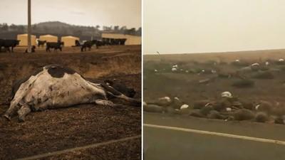 容器被燒光「數萬公升牛奶全倒掉」!澳災情擴大,牧農抱子淚訴:像在地獄