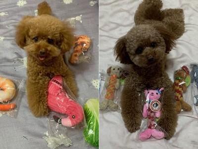 少女心貴賓玩具都只挑「粉紅色」