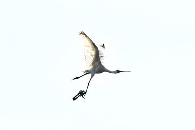 獸鋏夾到黑面琵鷺了 見鳥請通報