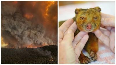 澳洲野火肆虐!燒傷負鼠送醫仍不治 鱷魚先生一家不放棄拯救動物