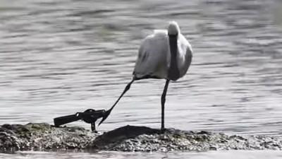 直擊黑面琵鷺「腳掌不自然外翻」 攝影師拿出大砲拉近一看:是捕獸夾!