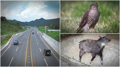 韓國版石虎「北雀鷹」! 保育鳥飛太低撞透明隔音牆 失明腦震盪餓死