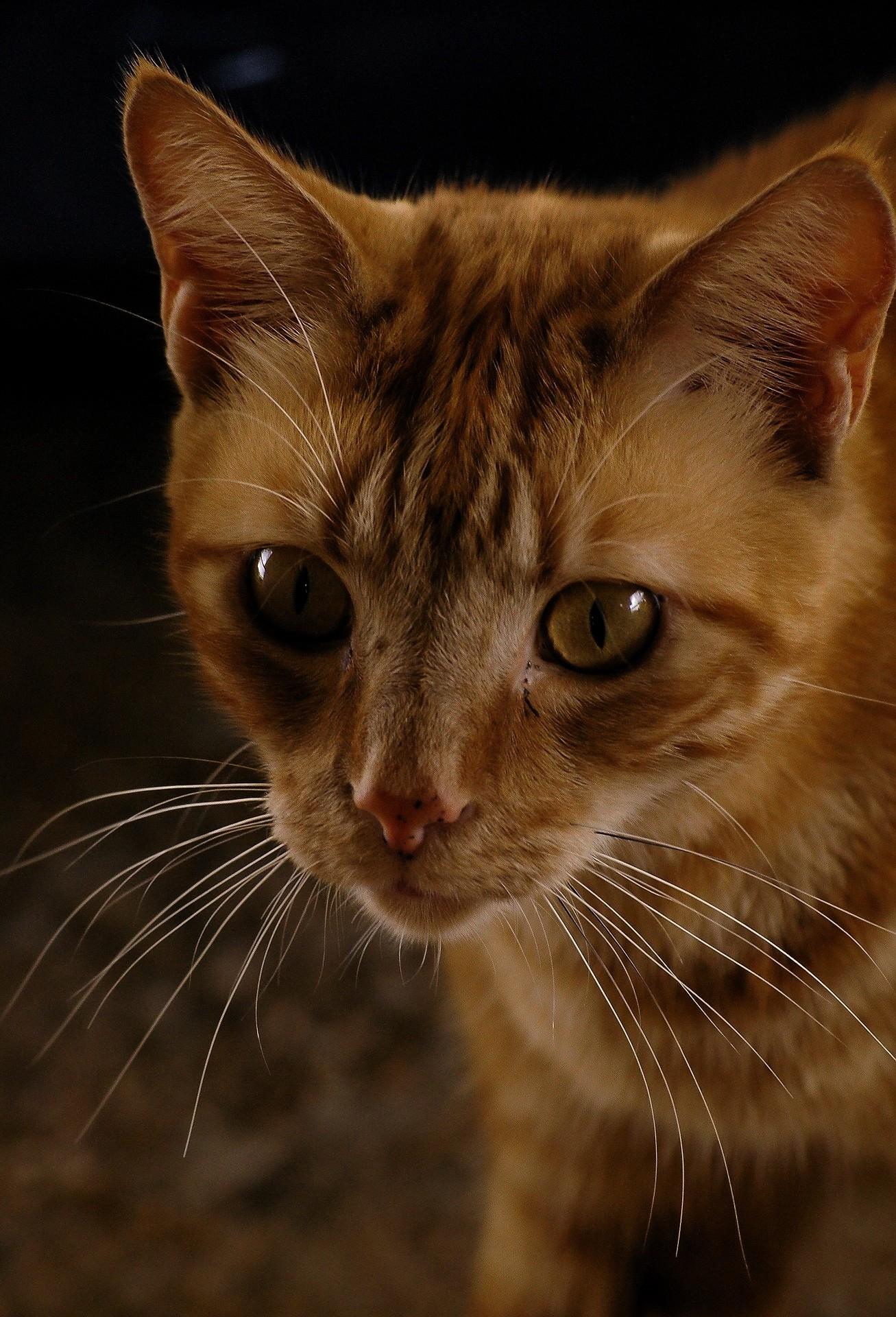 ▲貓咪,橘貓。(圖/取自免費圖庫Pixabay)