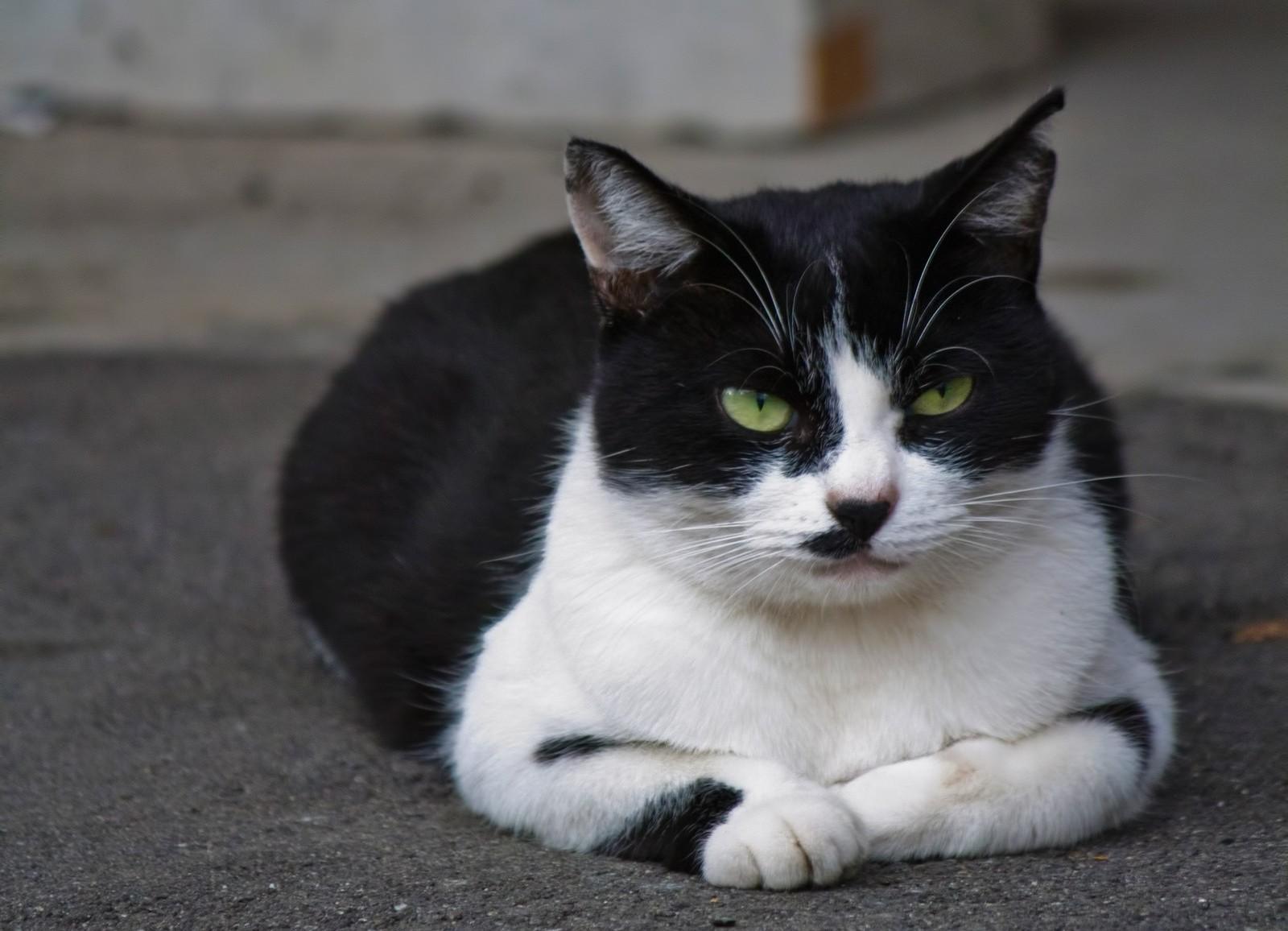 ▲貓咪,賓士貓。(圖/取自免費圖庫Pakutaso)