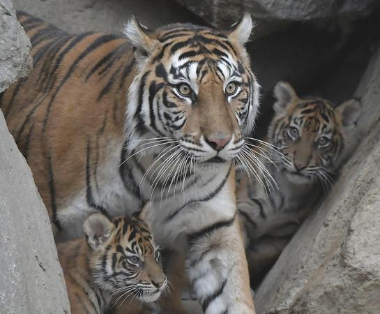 疫情逼閉館!印尼動物園0收入斷糧了 最壞打算:殺老弱動物餵虎、豹