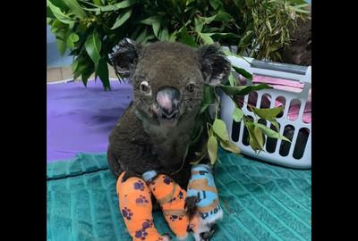 澳洲醫院發起認養無尾熊 每月只要70元