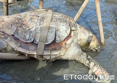 赤蠵龜死亡 海巡在漢寶濕地發現
