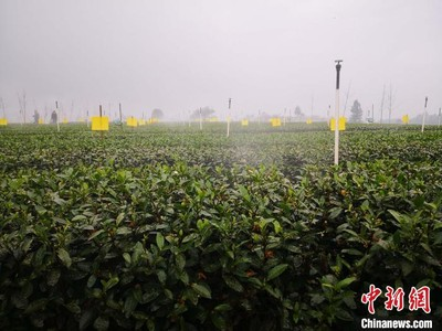 四川茶產業綜合實力大陸NO.2!