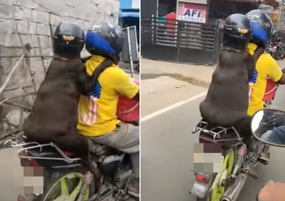 狗戴安全帽坐機車 喜感正臉騎士笑歪
