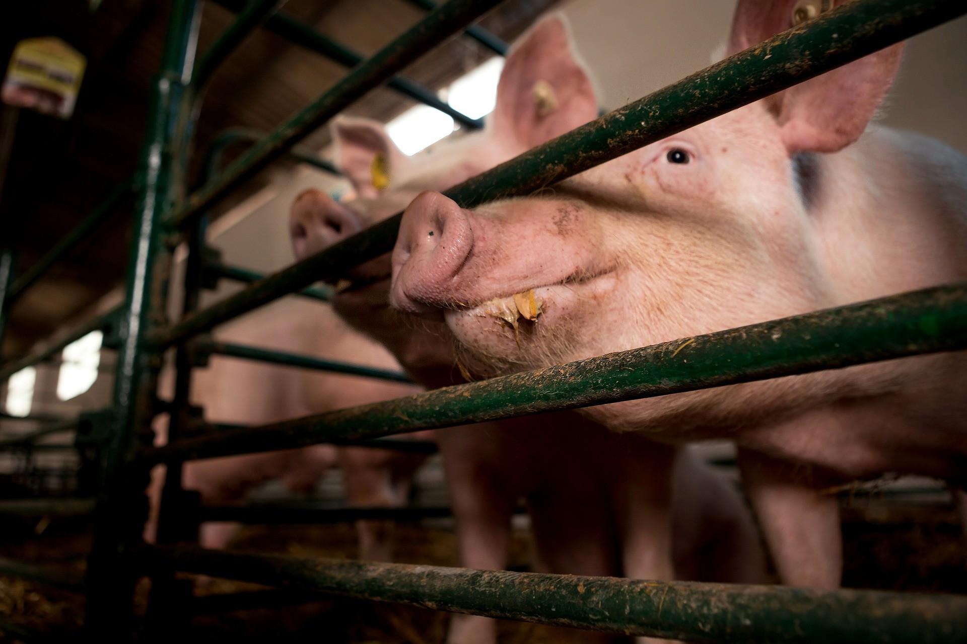 ▲豬,養豬場。(圖/取自免費圖庫Pixabay)