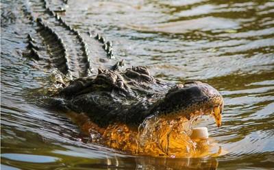 澳洲15歲男孩救海龜 突然衝出2.5米鱷魚