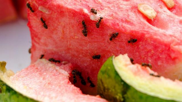 ▲▼螞蟻,西瓜,甜食。(圖/取自免費圖庫pixabay)