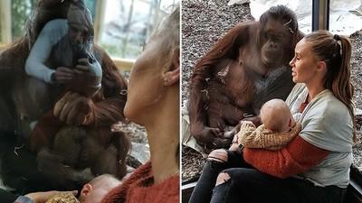 母猩猩「旁觀哺乳」輕撫玻璃不肯離開 動物園方:牠前不久生下死胎