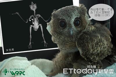 領角鴞幼鳥骨折 手術取3顆BB彈