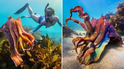 女潛水員太美!巨大烏賊「全身七彩變色」求偶 攝影師笑歪:那是我老婆