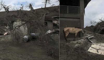 菲國火山噴發 馬牛屍體半埋火山灰
