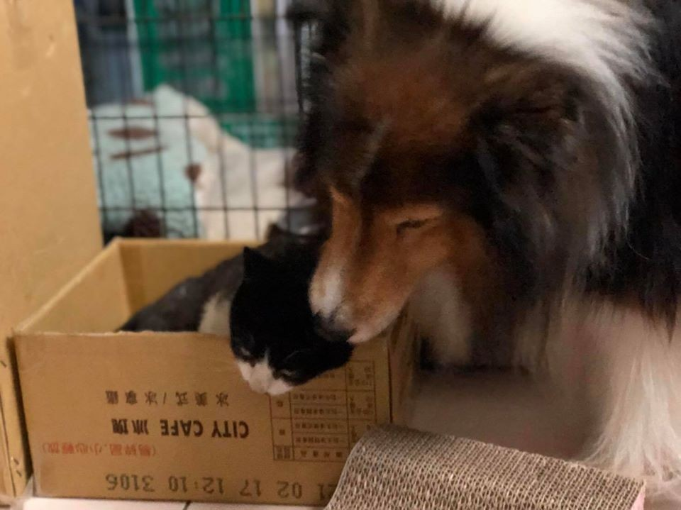 ▲小賓。(圖/喜樂蒂牧羊犬Jacob - Sheltie Shetland Sheepdog授權提供)