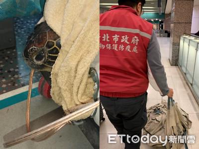 石門腫瘤綠蠵龜 高鐵送往屏東搶救