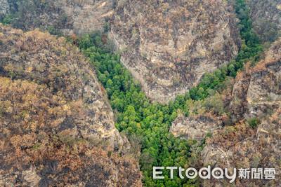 「恐龍樹」200棵挺過澳洲野火