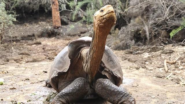 一百歲「生了800隻後代」!風流龜老爺兩三天一發 多虧牠象龜族群沒滅絕