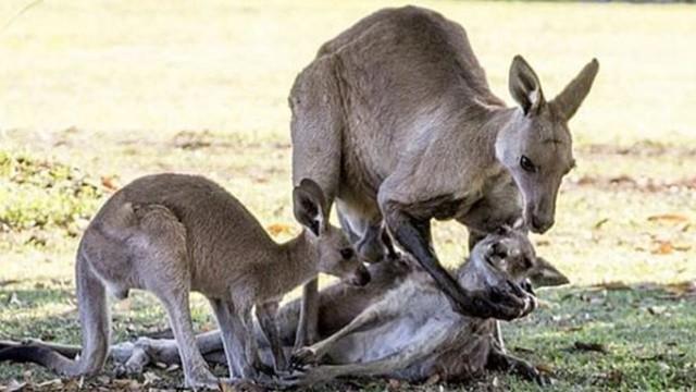 「公袋鼠緊擁瀕死母袋鼠」感人畫面瘋傳!專家戳破真相:牠只是想找飛機杯