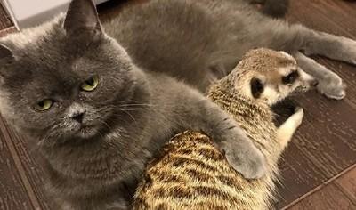 貓咪與狐獴黏在一起 主人變小三