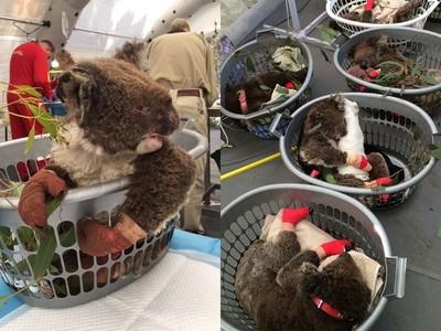無尾熊手腳捆繃帶 窩洗衣籃入睡