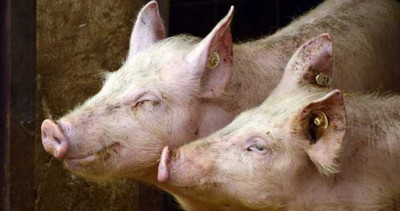 農場主人失蹤8天成白骨!警:被豬吃