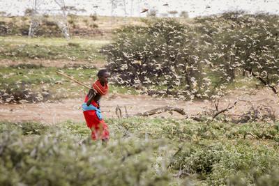 東非3600億隻蝗蟲入侵印度!16萬公頃農田受害