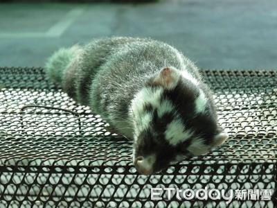 台南出現首例鼬獾咬傷人事件